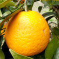 ナルトオレンジ